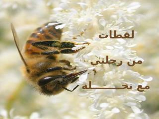 رحلتي مع نحلة.pps